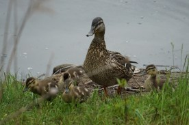 Mom and ducklings today