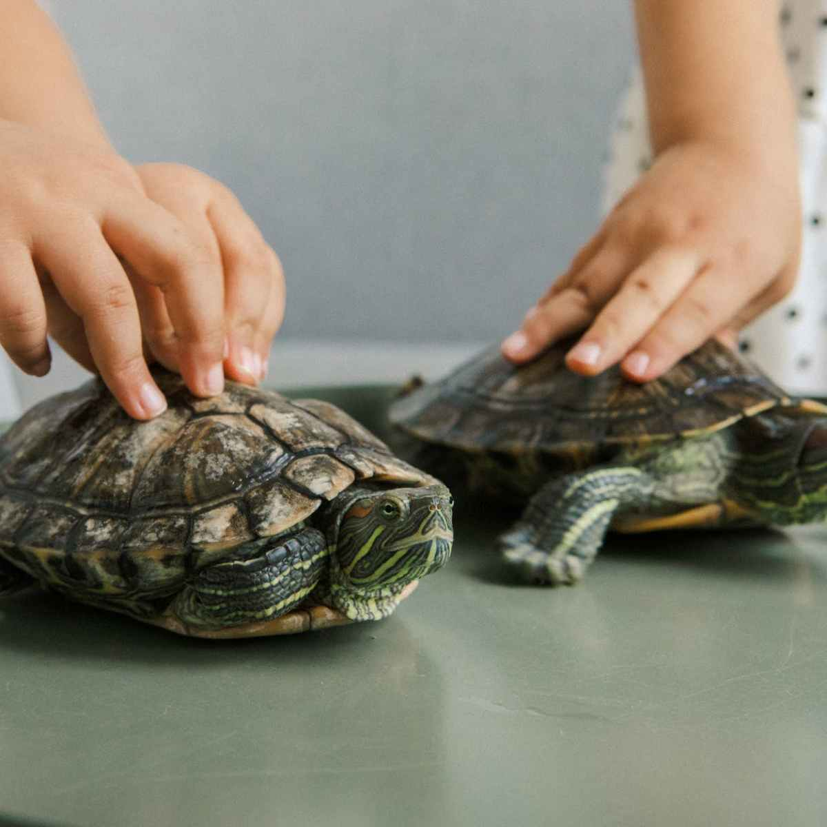 person holding turtle on table