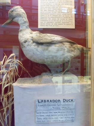 Il n'y a plus de canard du Labrador sur cette planète-là.