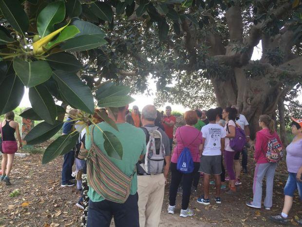 Interior del Ficus de los Mazones. Foto: el autor