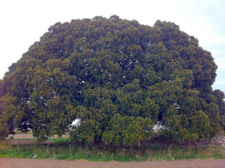 Ficus de los Mazones