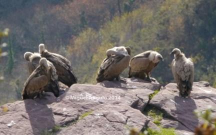 Itxusi, vautours fauves