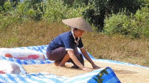 Sêchage du riz à BanSamSaath, Nong Khiaw (Laos)