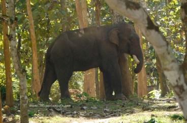 Eléphant sur la piste de Pak Ou (Laos)