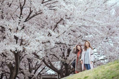 釜山》韓國三大櫻花大道 麥島生態公園櫻花大道 河東十里櫻花路 晉州河畔櫻花道一日遊