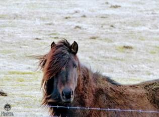 Iceland-Day-2--horses-2