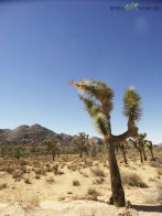 cactusi-si-desert-in-joshua-tree-national-parc-copy