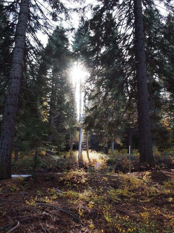 shasta Lake siskiyou forest, シャスタ レイクシスキューの森
