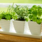 観葉植物よりハーブがおすすめ!キッチンハーブ4選!簡単な育て方!