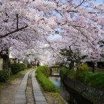 【哲学の道】桜の見頃と桜情報!桜の花kissで蘇り!桜の香りは癒し!