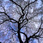 京都の桜満開♪ 心を和ませて、癒されて