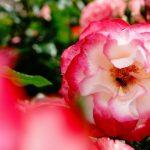 【週記】緊急事態宣言の解除!バラに癒されて自然が一番
