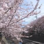 2018年 大岡川の桜開花状況、お花見ウォーキングと弘明寺温泉みうら湯