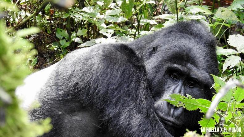 trekking gorilas (20)