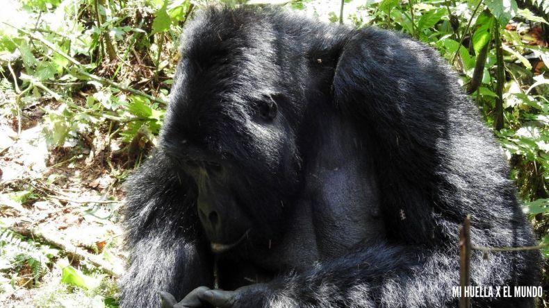 trekking gorilas (21)