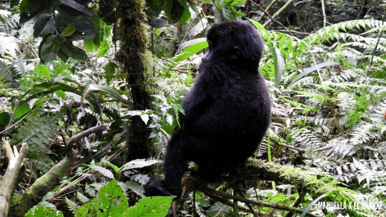 trekking gorilas (3)