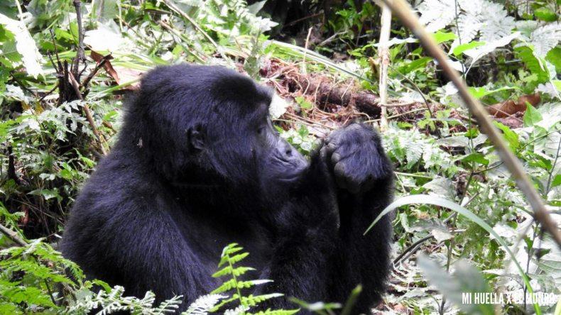 trekking gorilas (6)
