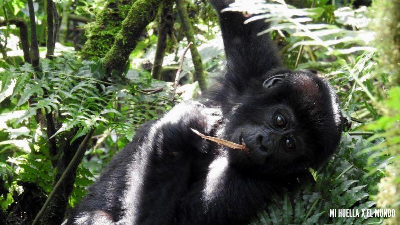 trekking gorilas (8)