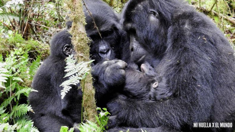 trekking gorilas