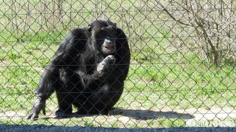 Foto de Nico, el chimpancé apadrinado, sale mirando hacia un lado