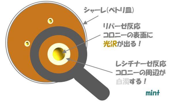 黄色ブドウ球菌の検査⑭