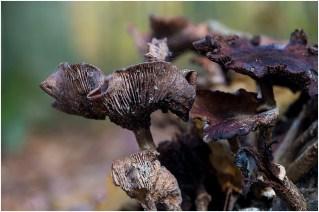 paddenstoelen-1