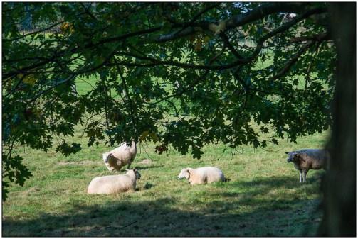 schapen-01