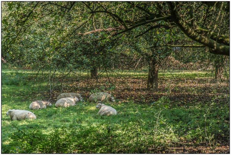 schapen-05