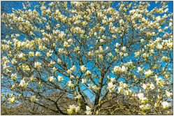 magnolia-2616