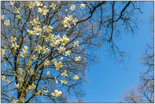magnolia-2704