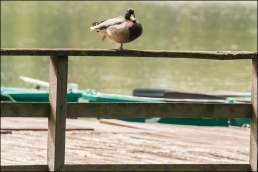 wilde eend vrouwtje - female mallard duck