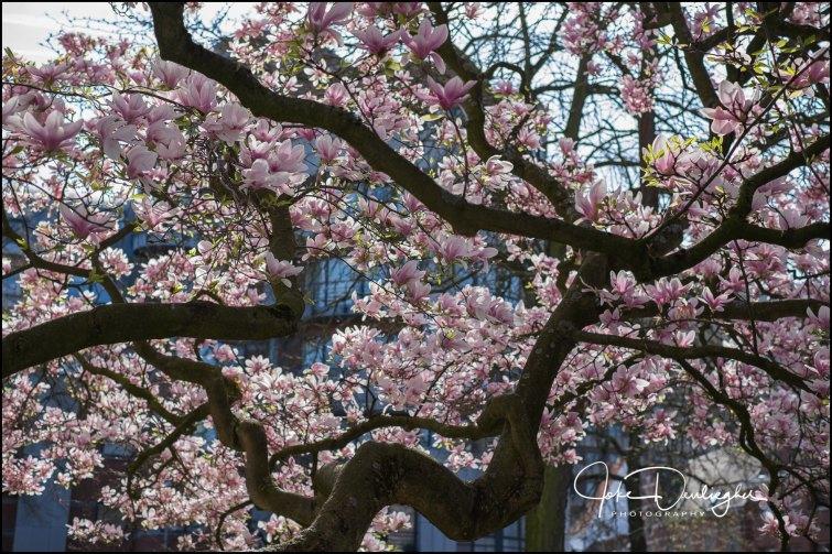 magnolia-6