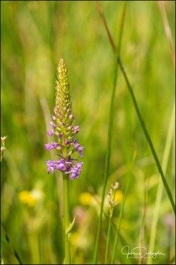 wilde orchidee 03