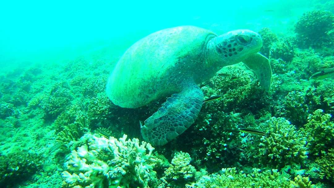 Zeeschildpad Coiba