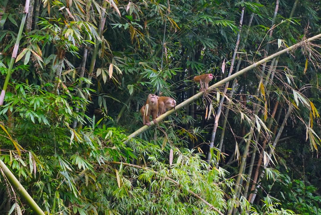 Apen in bamboo