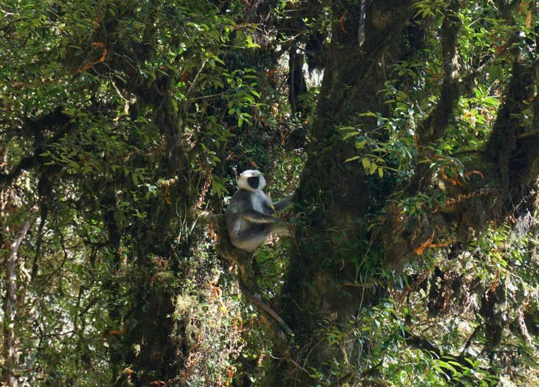 Langur monkey poon hill