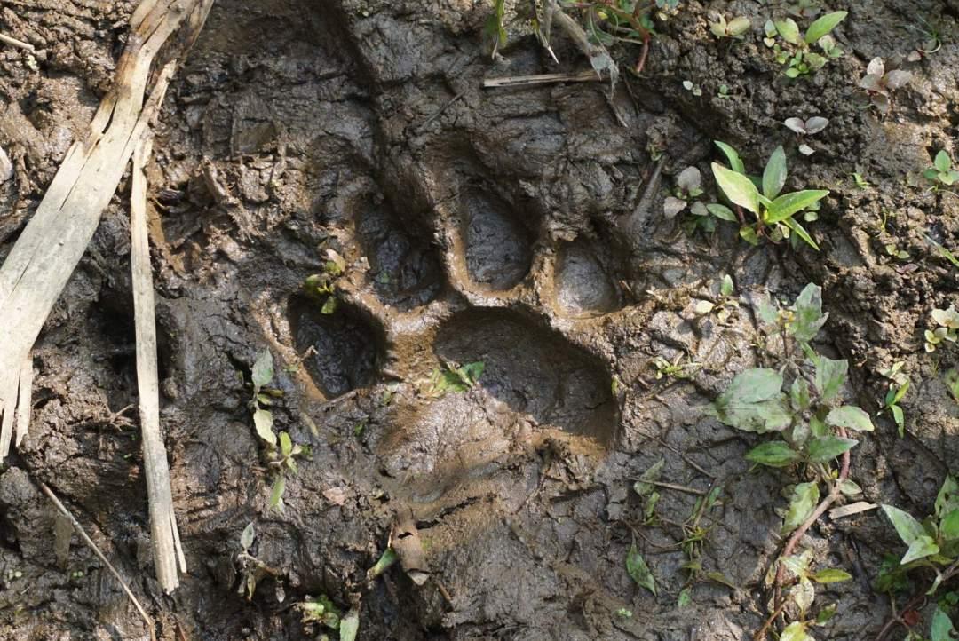 Pootafdruk tijger chitwan national park