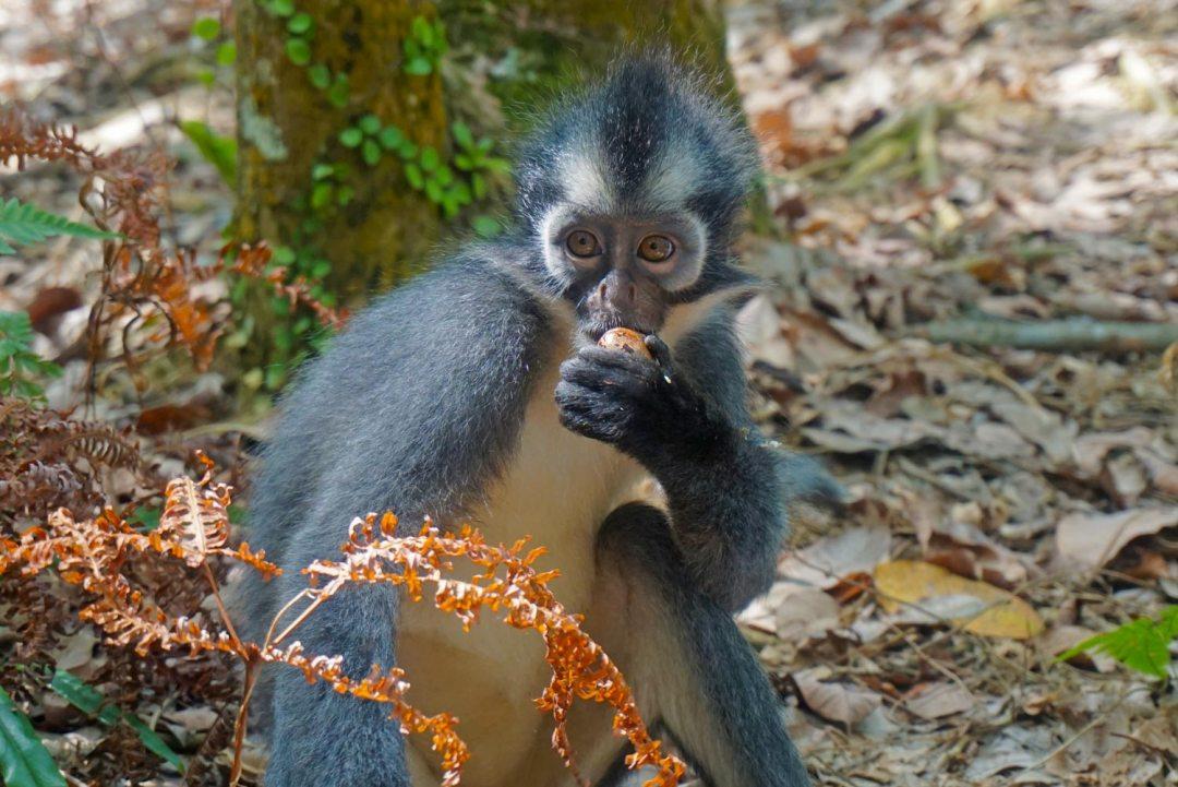 Thomas-Leaf-Monkey-Sumatra