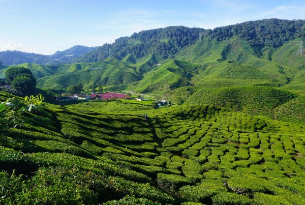 Cameron-Highlands-Maleisie-malaysia itinerary