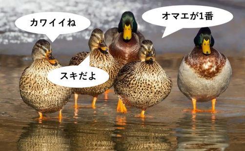 5羽のカモ