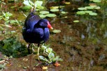 The photo of this Moorhen, with his brilliant blue-black feathers, is courtesy of my father and mentor, Dennis Narlock.