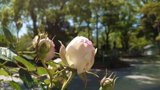 横浜公園のバラ