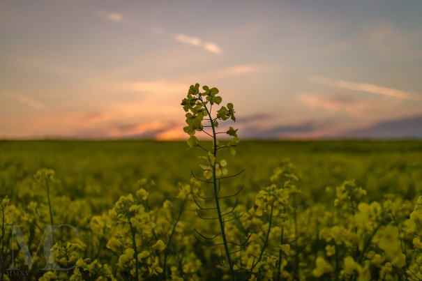 Fields of Yellow (England)