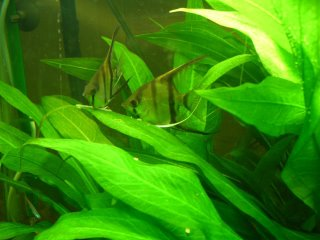 Angel Fish Spawning