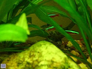 Link to Cardinal Tetra Video in a planted Amazon Sword Aquarium