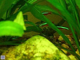Link to Cardinal Tetra Video in a planted Amazon Sword Aquarium