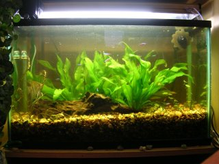 Heavily pruned live plant aquarium to remove algie and damaged foliage