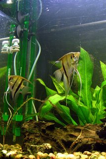 Angel Fish and filter equipment