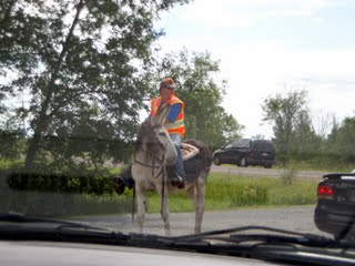 A donkey and rider directing trafic