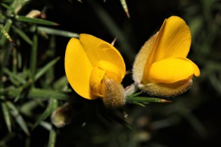 Gorse Blooms.